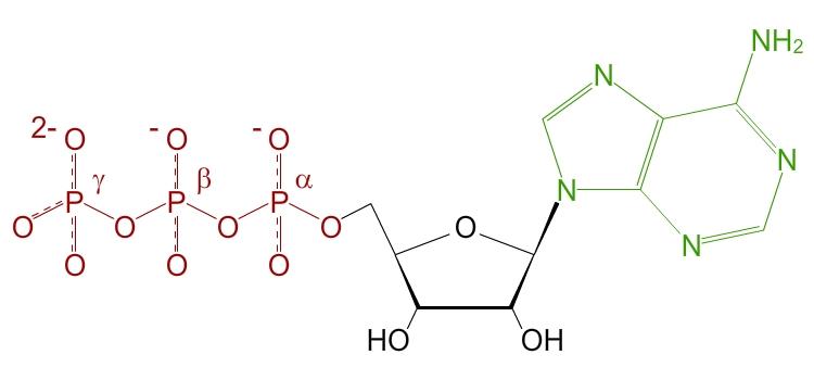 Adénosine Triphosphate - Molécule énergétique